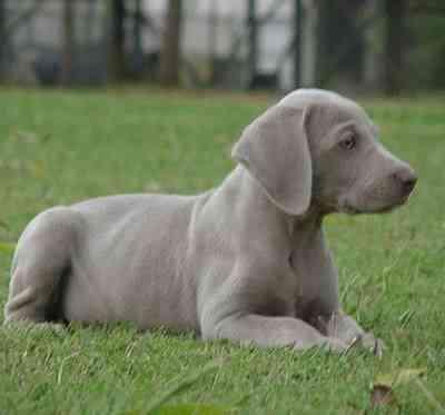 razas de perros cariñosos
