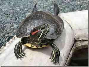 tortoise1 cepolina thumb