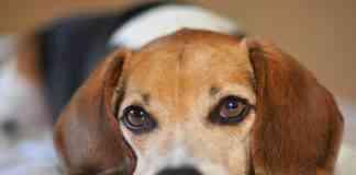 Como adiestrar a un Beagle para que no se comporte mal