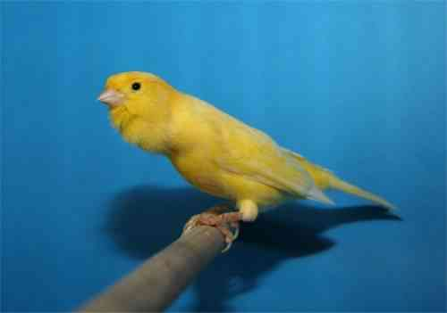 canario
