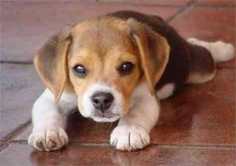 Beagle time (hora del beagle)