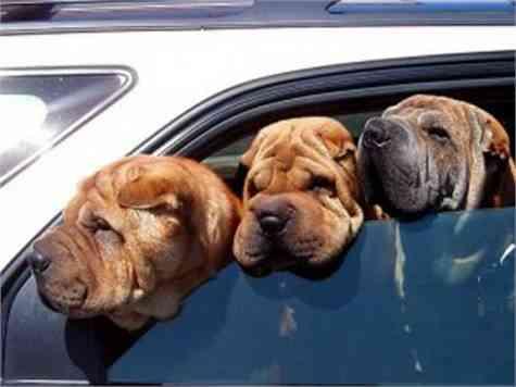 mascotas coche
