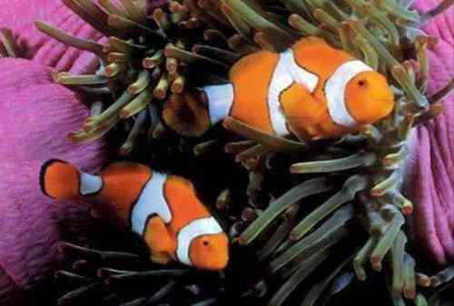Tipos de peces m s comunes como mascotas mascotalia for Clases de peces de acuario