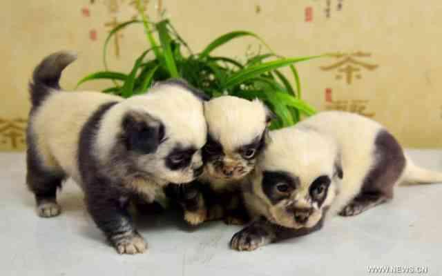 Shaojun Shi perros panda