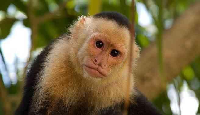 Monos mascotas
