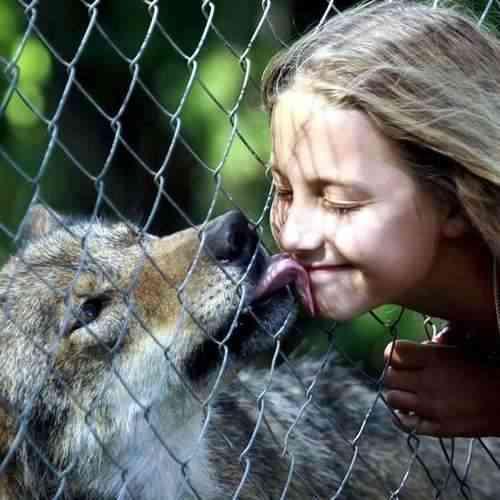 lobos-mascota