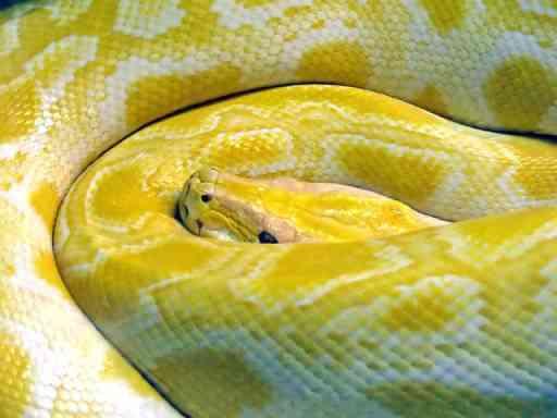 serpiente-mascota