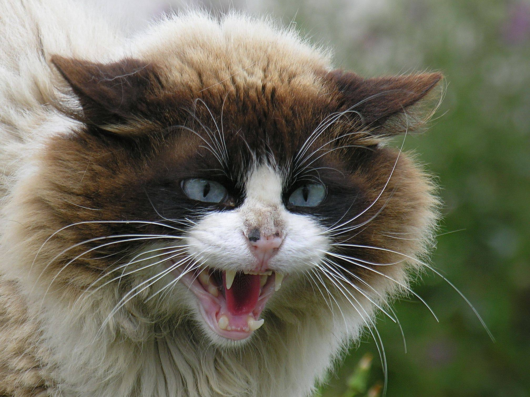agresividad gatos