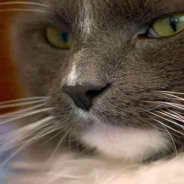 Qué función tienen los bigotes de tu gato