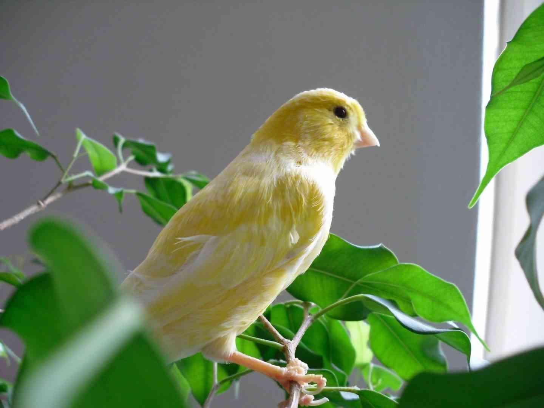 canario-amarillo