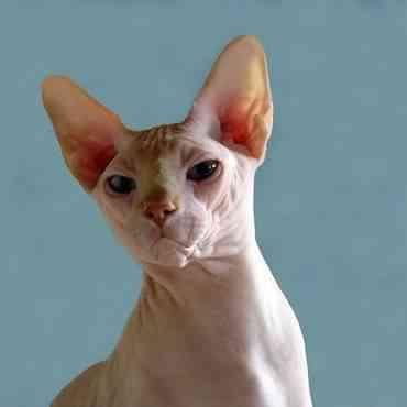 Conoce un poco más del gato egipcio