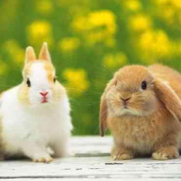 Aprende a pasear a tu conejo