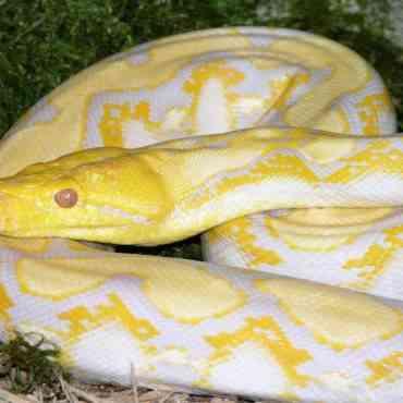 Las mejores serpientes para tener de mascota