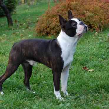 El boston terrier