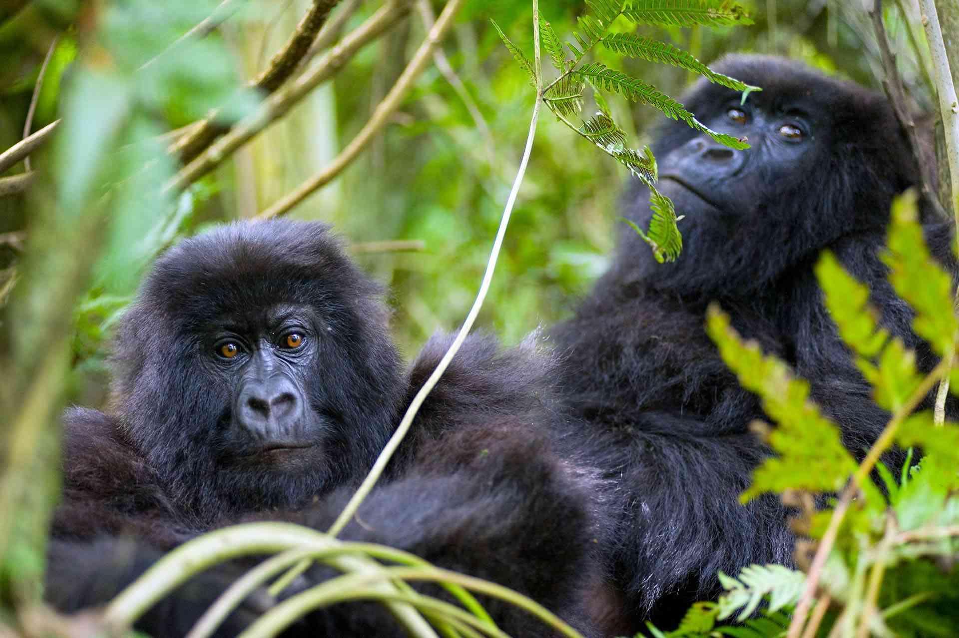Gorilas de montaña en Ruanda