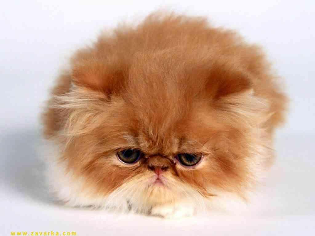 caída de pelo gatos