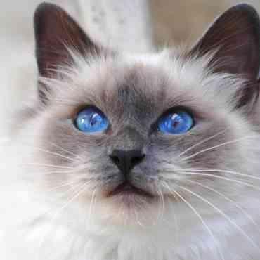 Las mejores razas de gato para niños