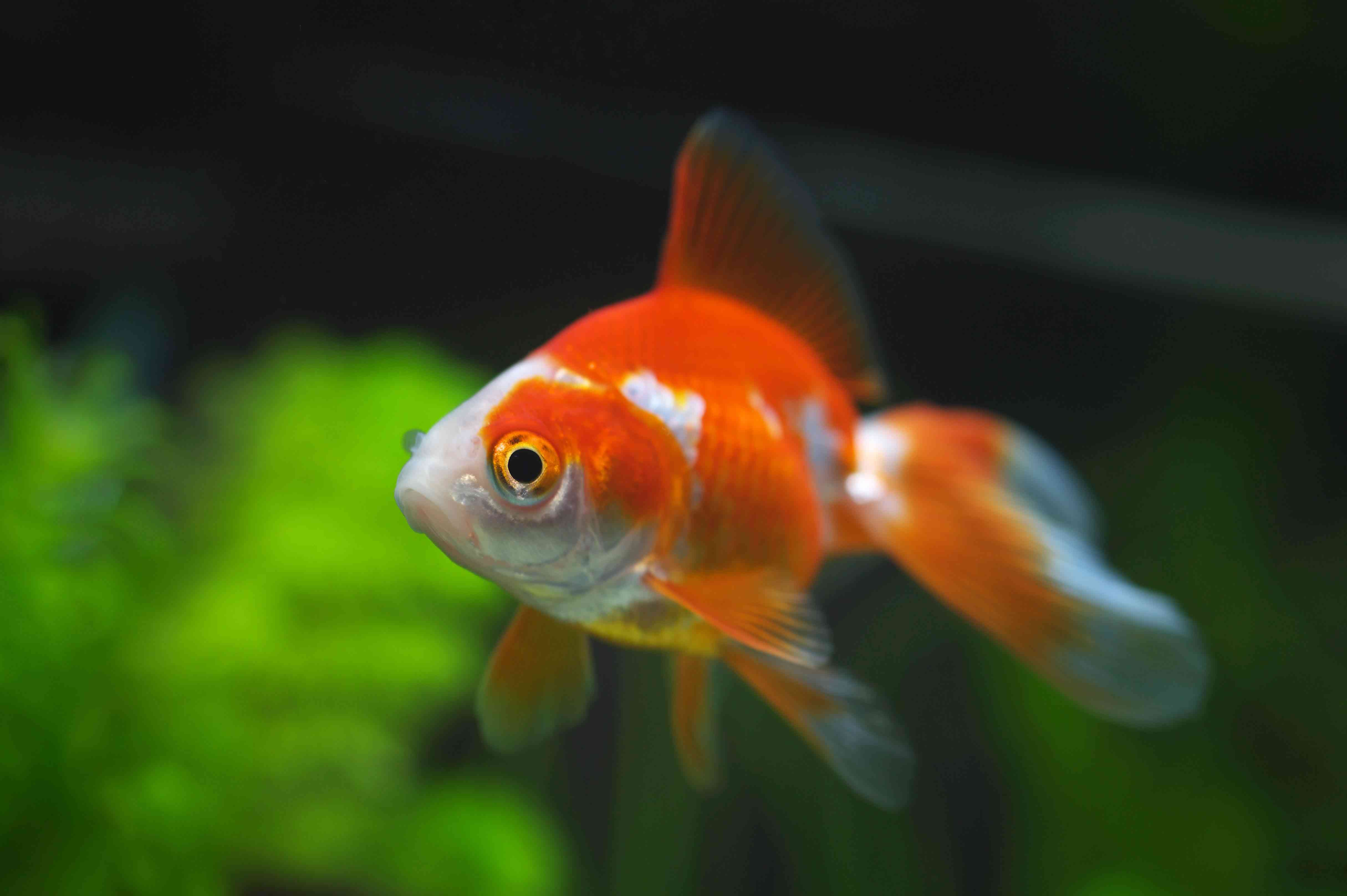 Los peces ideales para tu acuario mascotalia for Peces de agua dulce para peceras