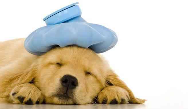 Enfermedades perros mas comunes