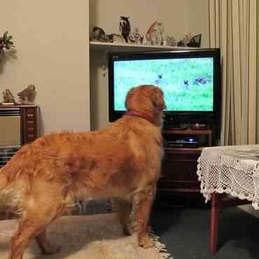 Presentan una inédita televisión para perros en Alemania