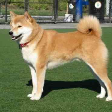 Akita Inu, el perro japonés