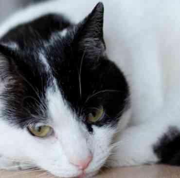 La bronquitis en los gatos