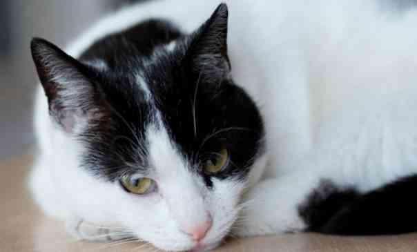 bronquitis gatos