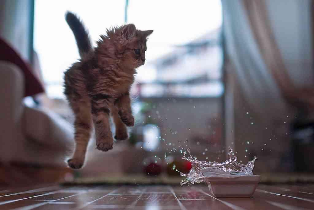 champú seco gatos