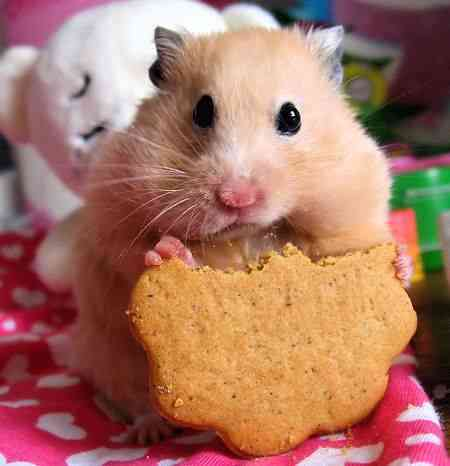consejos hamster
