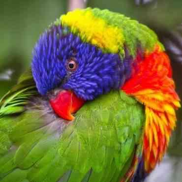 ¿En qué consiste el picaje en las aves?