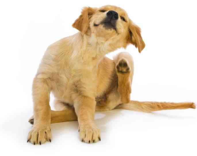 pulgas en los perros