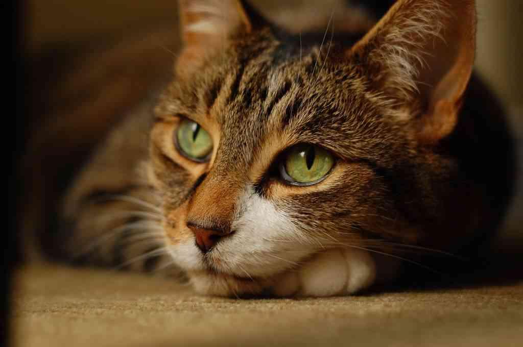 ronroneo gatos