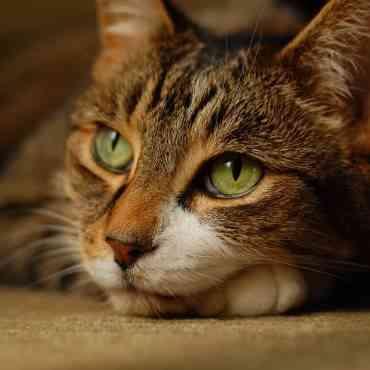 El ronroneo en los gatos