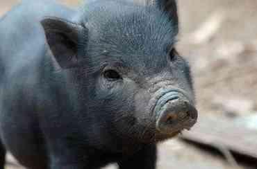 El cerdo vietnamita como mascota