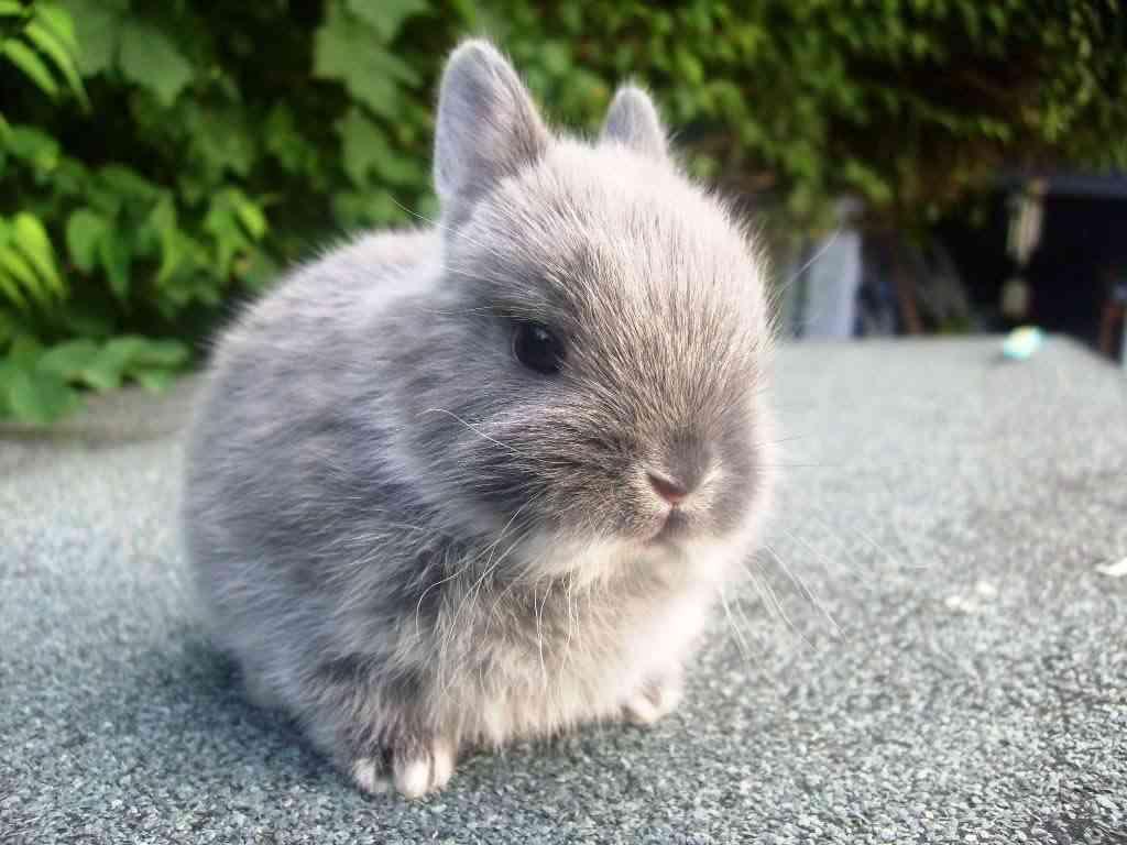 conejo-enano-gris