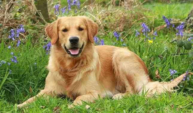 golden-retriever-