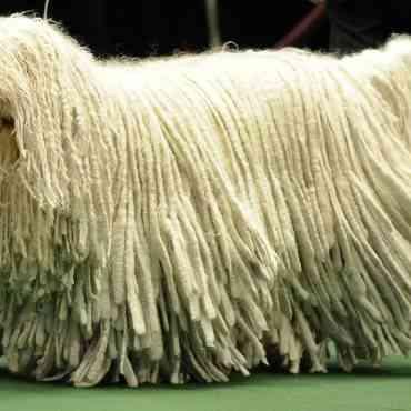 El perro Komondor