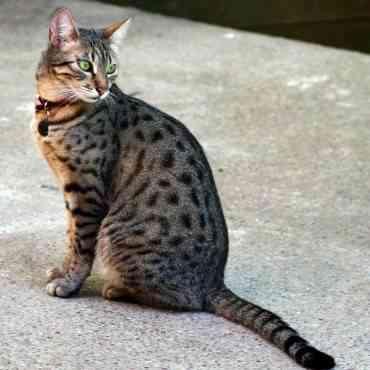 Los gatos egipcios: cuidados importantes a tener en cuenta