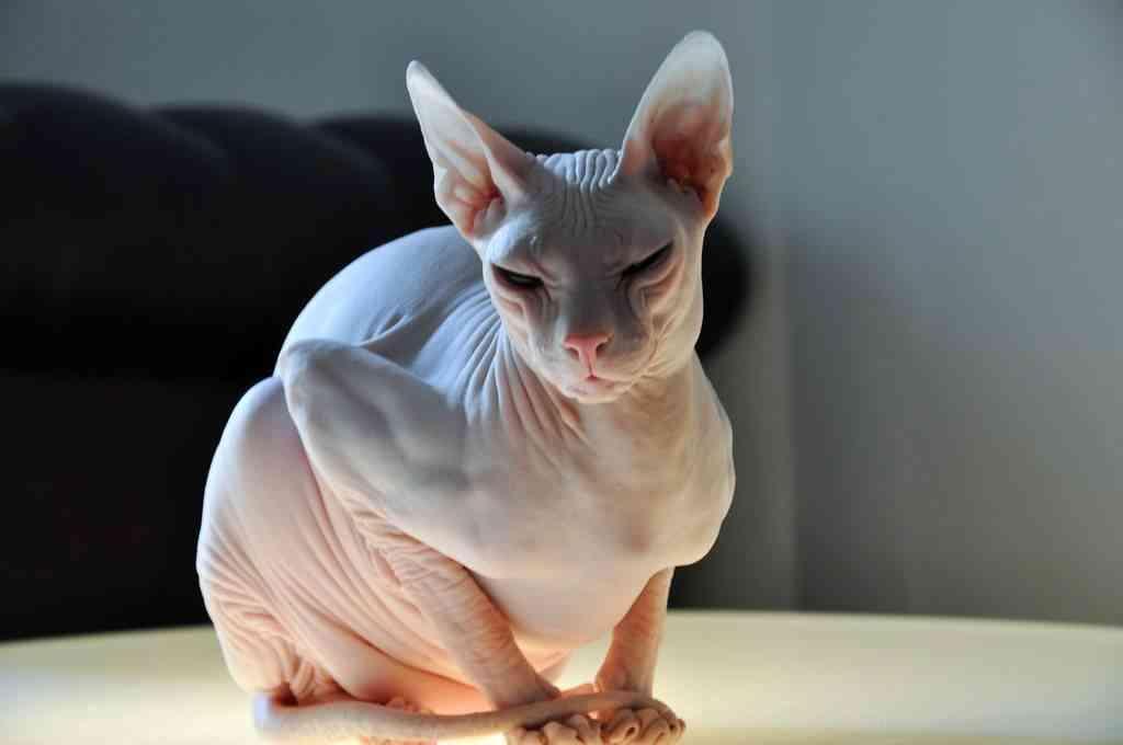 Los gatos esfinge