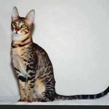 Los gatos más caros del mundo: top cinco de razas