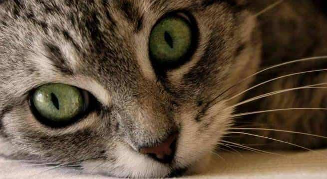 limpiar ojos gato