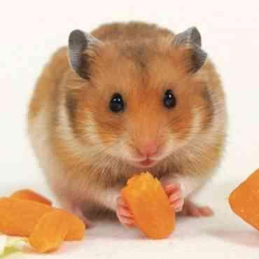 ¿Qué pueden comer los hámsters?