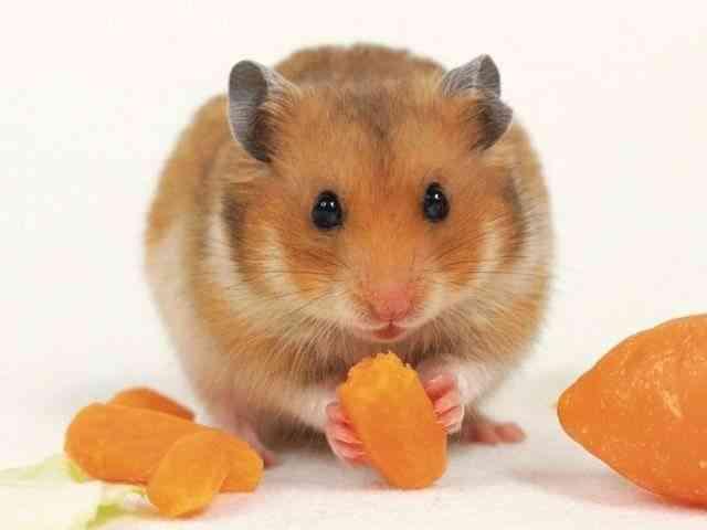 que-comen-los-hamsters