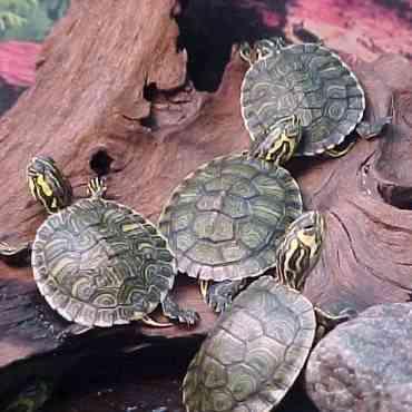 Cómo cuidar a las tortugas de agua