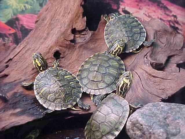C mo cuidar a las tortugas de agua for Peceras para tortugas