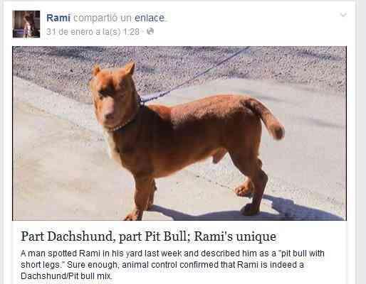 Pitbull salchicha Rami