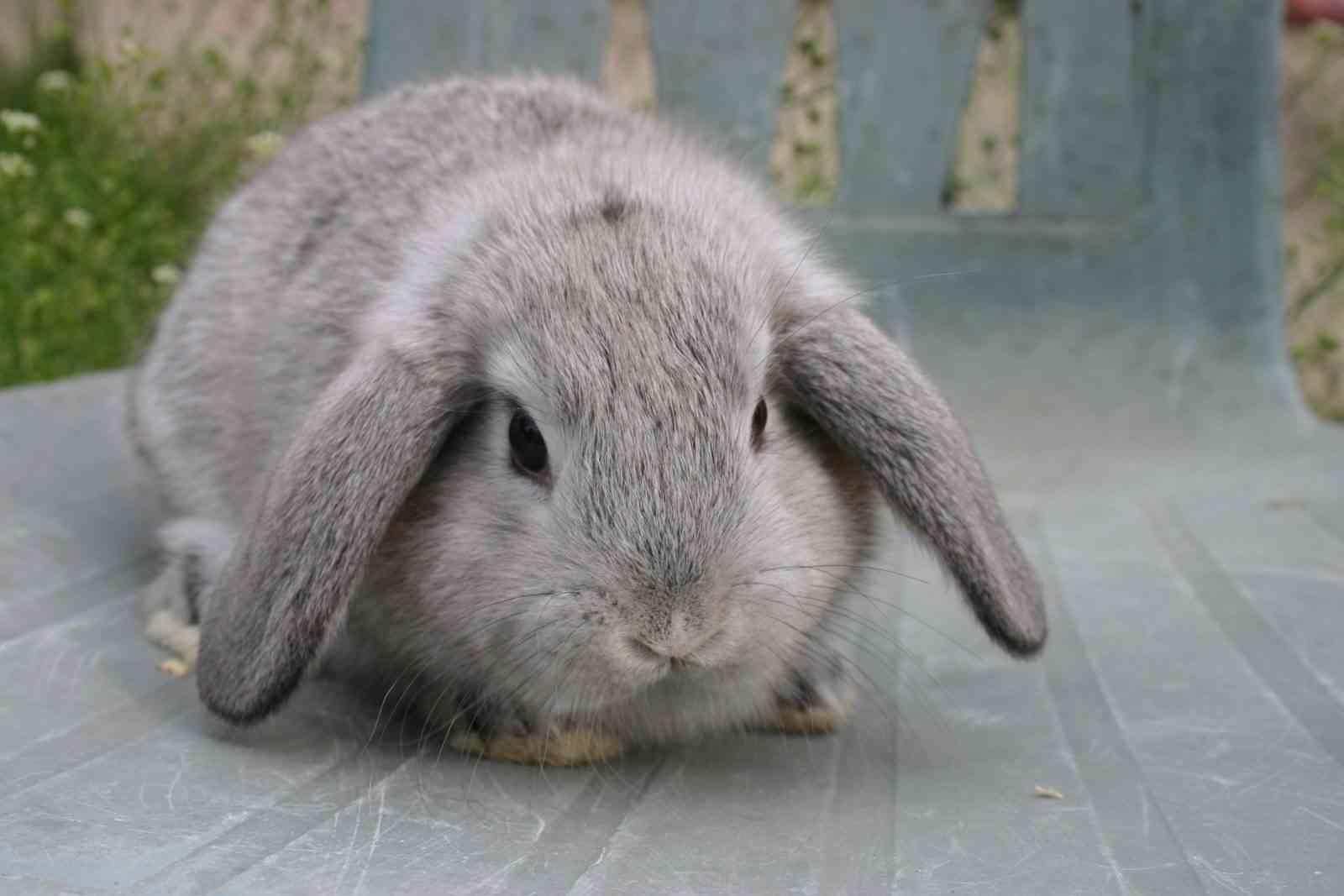 conejo-belier-gris