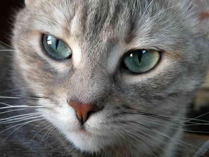 razas de gatos longevas