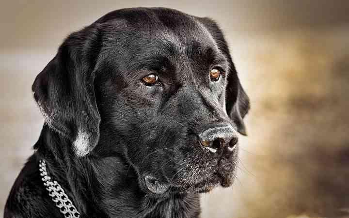razas de perro populares y vendidas