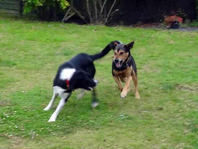 Peleas entre perros 1